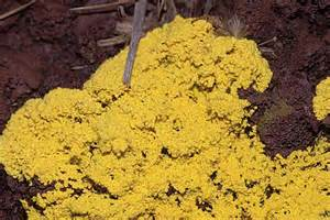yellow fungus picture 9