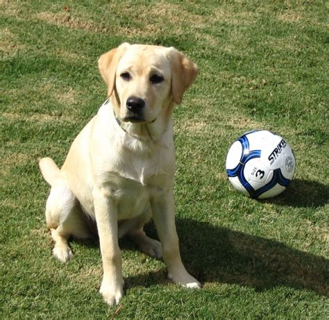 how to tell age of labrador h picture 1