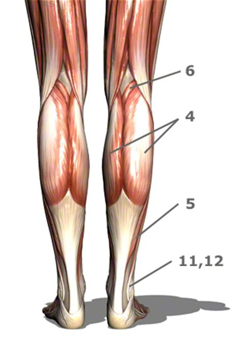 calf muscle picture 13