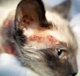 feline skin allergies picture 3