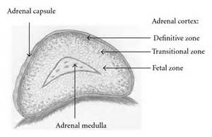 adrenal gland picture 5