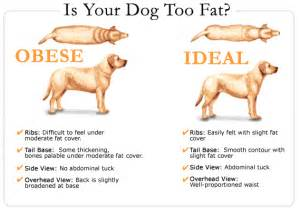 when does a dog gain weight if pregnant picture 6