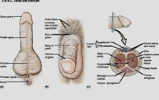 detailed diagram of the human penis picture 7