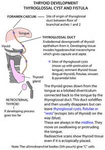 thyroid gland instant anatomy picture 6
