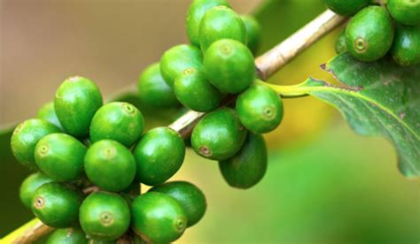 are green coffee beans good for you picture 7