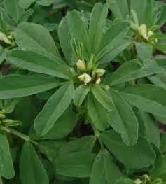fenugreek trigonella foenum-graecum picture 6