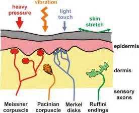 mechanoreceptors in skin picture 5