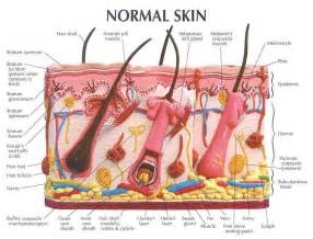 structure of the skin models picture 13