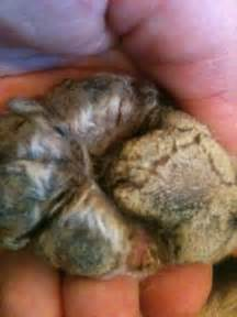yeast on dog's skin picture 5