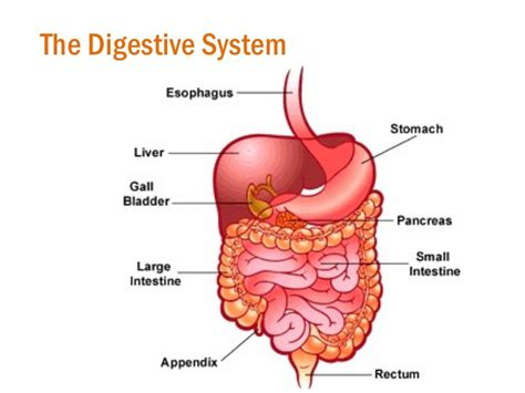 digestion in small intestine picture 10