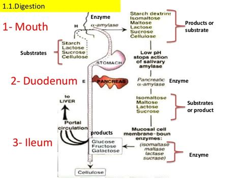 digestion of carbohydrates picture 2