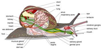 crab digestion picture 11