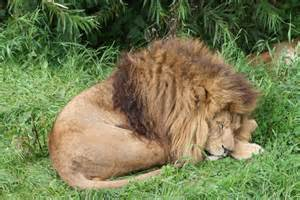a lion sleeping picture 5