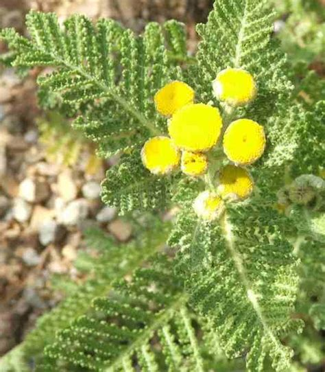 tansy herb in philippines picture 19