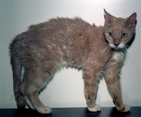 cat thyroid symptoms picture 2