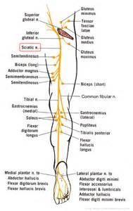 does pinched sciatic nerve affect erection nerves picture 17