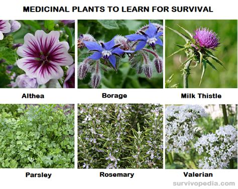 which herbal plant is best for an picture 4