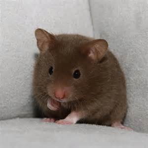 hamster black h picture 2