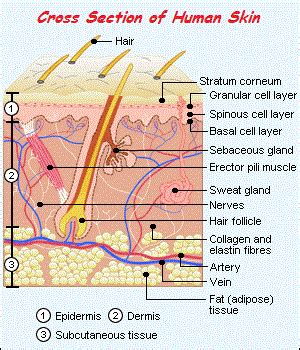 cross section of human skin picture 5