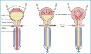 study of the female bladder picture 17