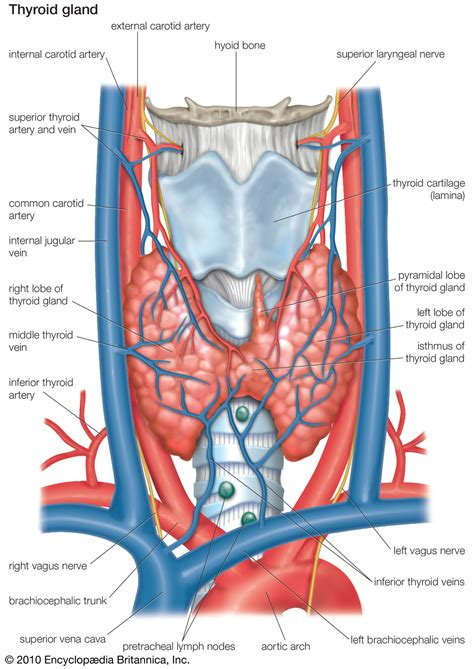anatomy thyroid picture 13