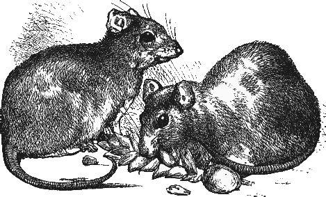 black rats diet picture 2