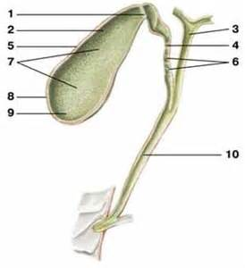 anatomy of gall bladder picture 11