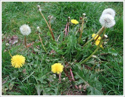 dandelion weeder picture 14