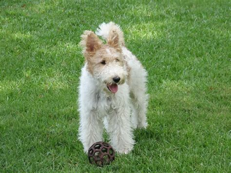 wire hair fox terriers picture 13