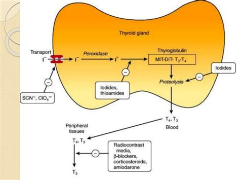 thyroid peroxidase tpo picture 6