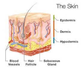 cell regeneration and skin picture 11