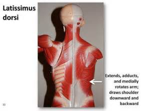 latissimus dorsi muscle picture 6
