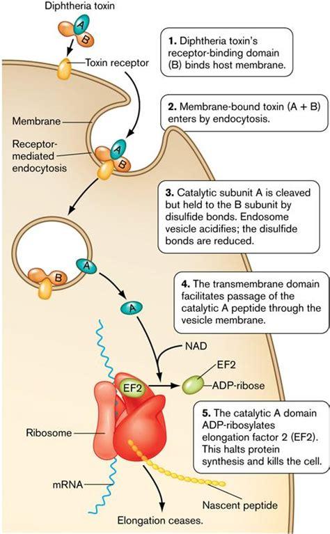 clostridium and liver damage picture 12