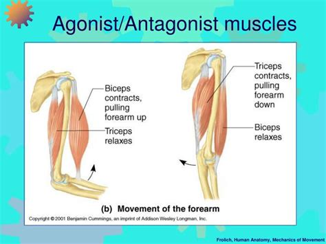 agonist and antagonist muscle picture 6