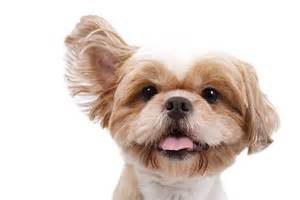 yeast in dogs ears picture 1