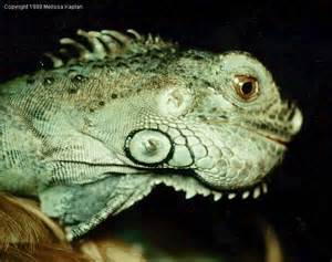 green iguana black in diseases picture 5