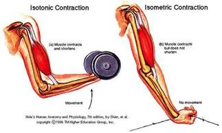 and isotonic muscle contraction picture 15