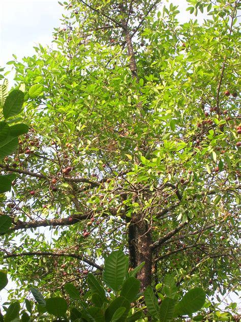 garcinia cambogia tree picture 11