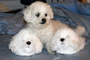 bichons and skin problems picture 2