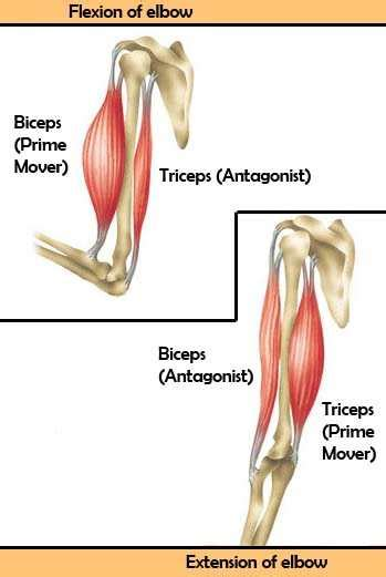 agonist and antagonist muscles list picture 3