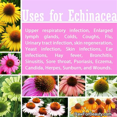 benefits of echinacea picture 11