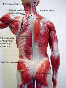 anatomy muscle model picture 5
