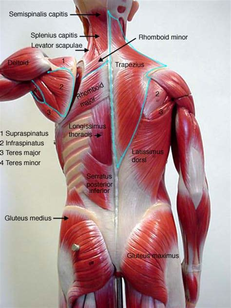 anatomy muscle model picture 13