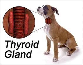canine thyroid symptoms picture 17