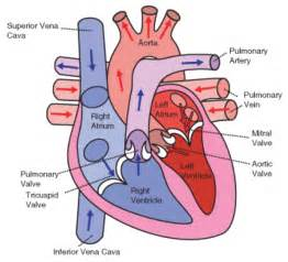 blood flow to and from the heart picture 1