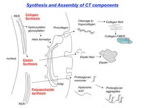 collagen synthesis picture 1