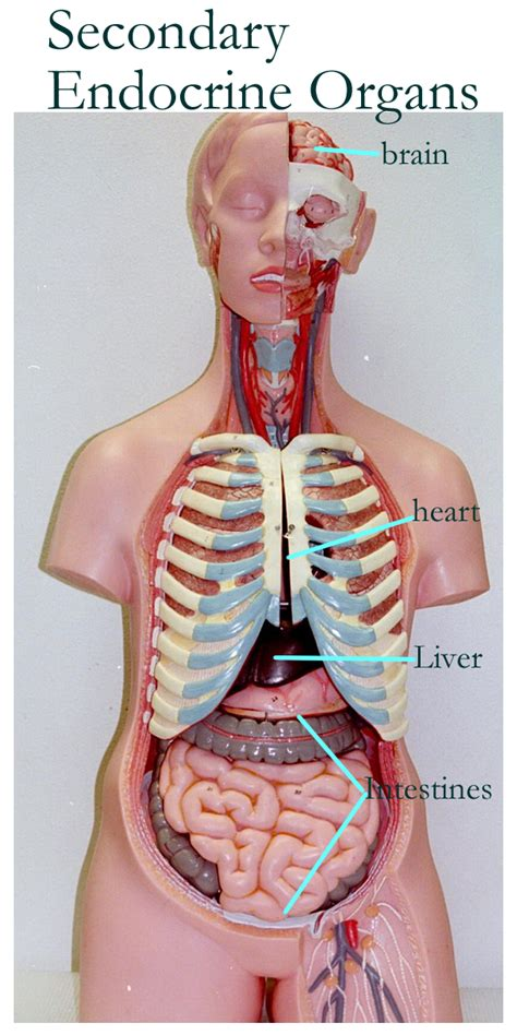 human liver how it works picture 10