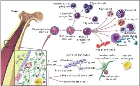 what is bone morrow suppression picture 10