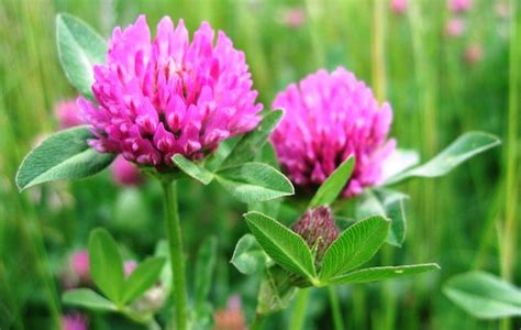 red clover tea picture 5