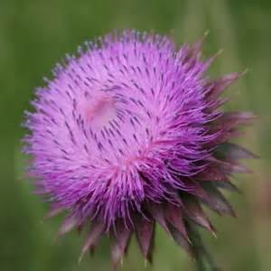 where to get organic thistle control picture 11